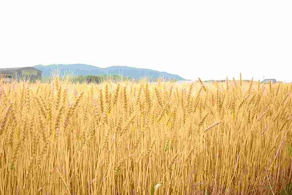 三重県産の小麦